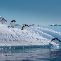 Adelie Penguins diving off Ice Berg in Antarctica